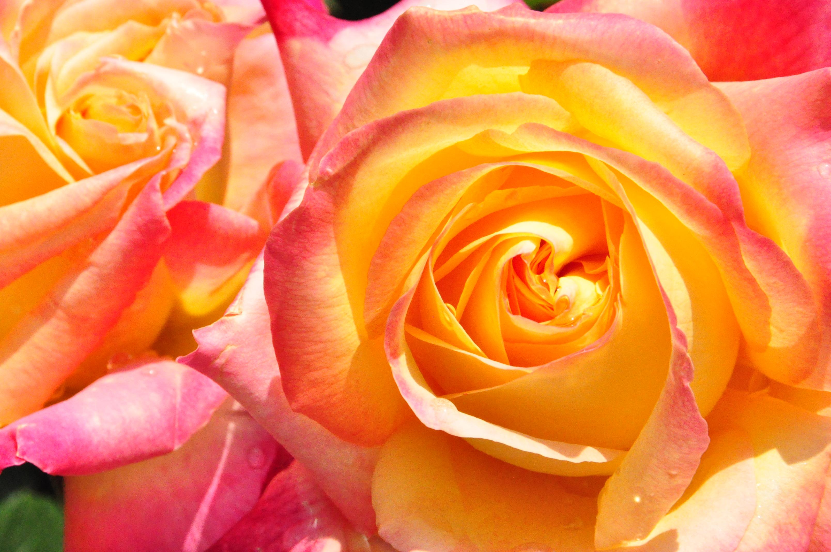 garden full of roses kleine grosse welt. Black Bedroom Furniture Sets. Home Design Ideas